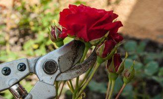 Gartenschere Rose